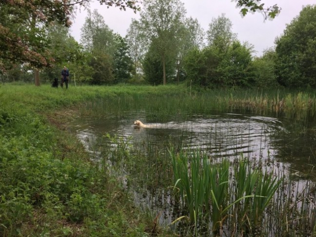 Standlake Retriever training - session 1 water retrieving2