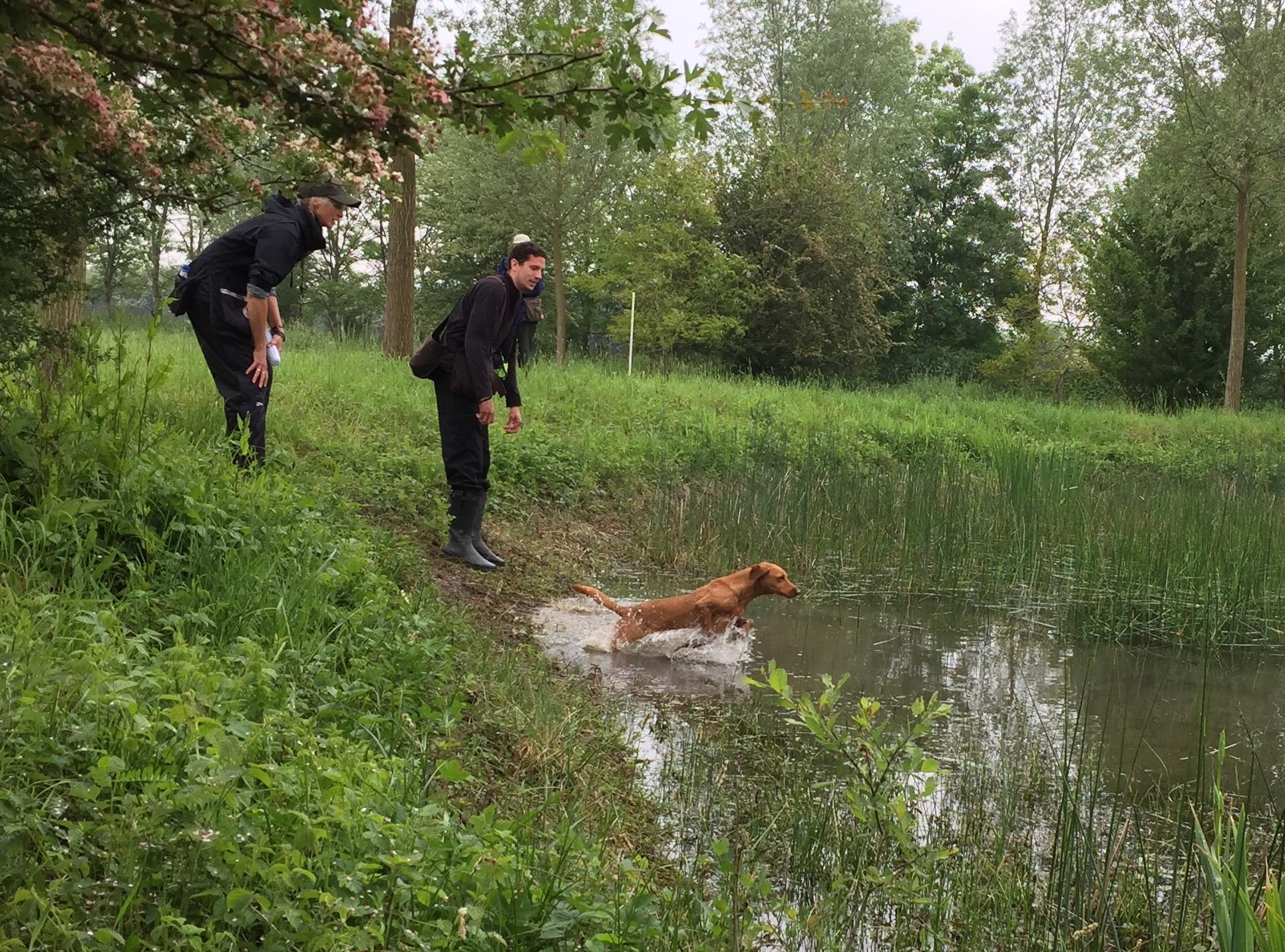 Standlake Retriever training - session 1 water retrieving4